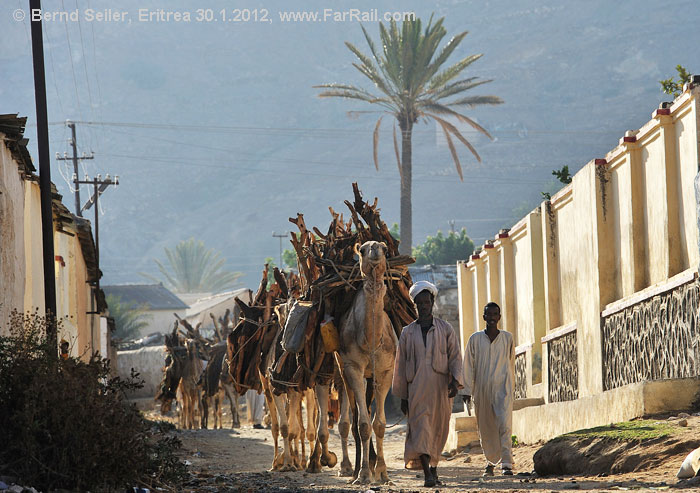 Keren: camels on their way to the fire wood market